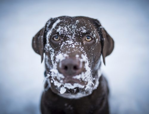A Plea to Punxsutawney Phil: Banish Cold Weather Hazards to Keep Pets Safe