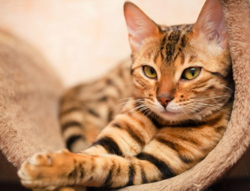 How and Why Your Cat Should Pay a Veterinary Visit