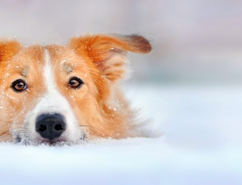 Winter holiday safety tips for pets